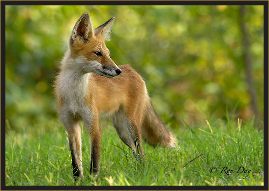 Young Red Fox,  (Vulpes vulpes)